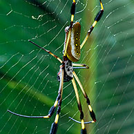 Gouden zijdespin (Nephila clavipes) in web, Costa Rica