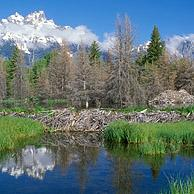 Amerikaanse beverdam and beverburcht (Castor canadensis) Grand Teton NP, Wyoming, USA