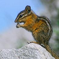 Kleine chipmunk (Neotamias minimus / Tamias minimus) op rots in het Yellowstone Nationaal Park, Wyoming, USA